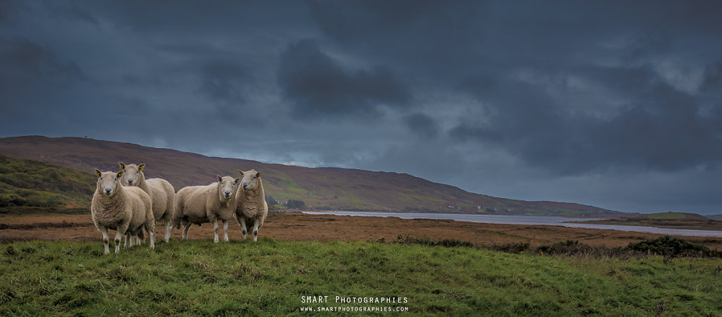 SHEEPS OF CONNEMARA